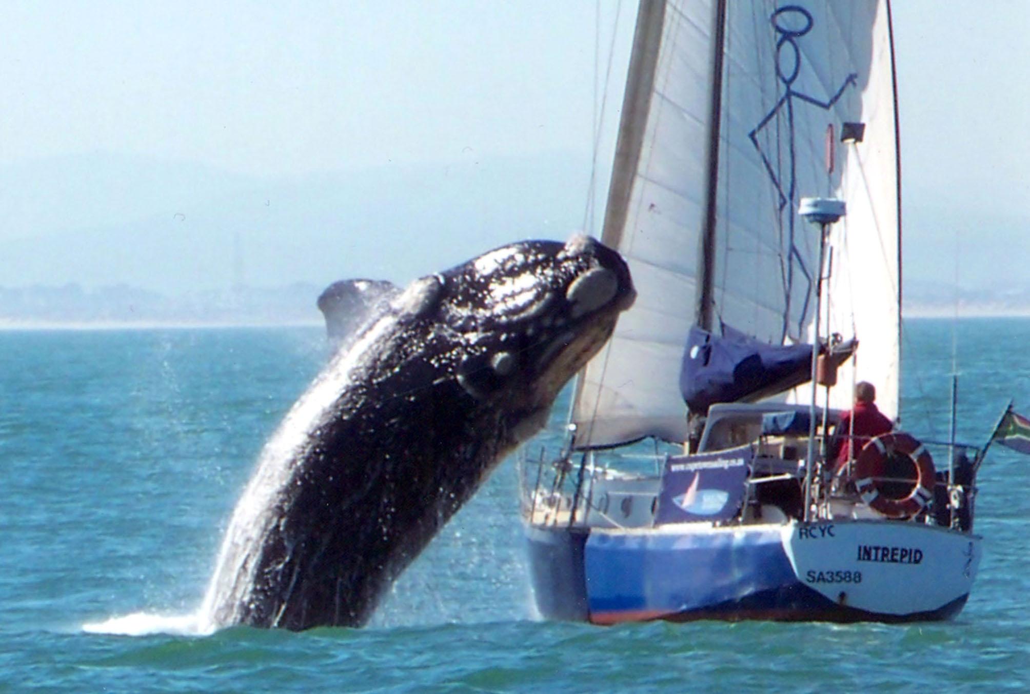Foto Kronologis Ikan Paus Raksasa Terjang Kapal Pesiar Artikel