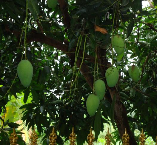 rental pohon mangga