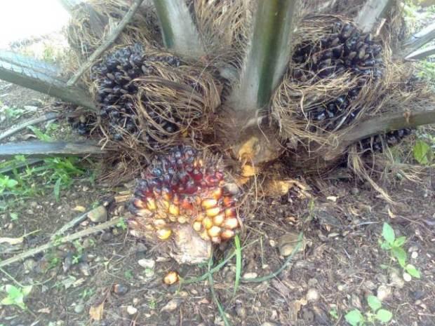 pohon-kelapa-sawit